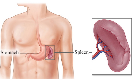 spleen-and-stomach